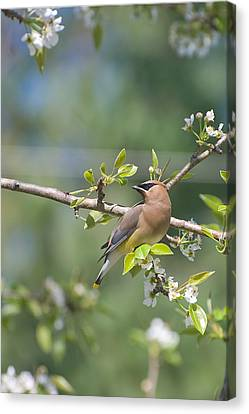 Canvas Print featuring the photograph Cedar Waxwing by Margaret Palmer