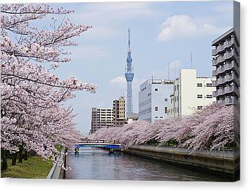 Cherry Blossom Trees Along River, Tokyo. Canvas Print