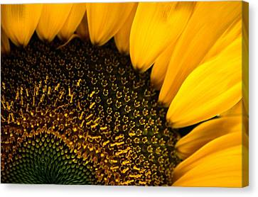 Close-up Of A Sunflower Canvas Print by Todd Gipstein