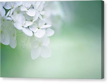 In Focus Canvas Print - Close Up Of White Hydrangea by Elisabeth Schmitt