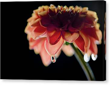 Canvas Print featuring the photograph Dahlia And Drop by Stefan Nielsen