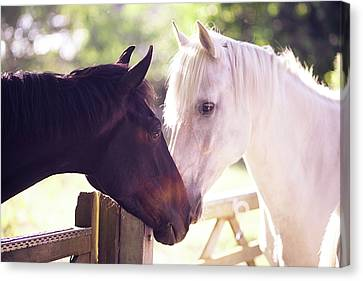 Bay Horse Canvas Print - Dark Bay And Gray Horse Sniffing Each Other by Sasha Bell