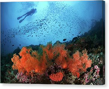 Diver And Soft Corals In Pescador Island Canvas Print by Nature, underwater and art photos. www.Narchuk.com
