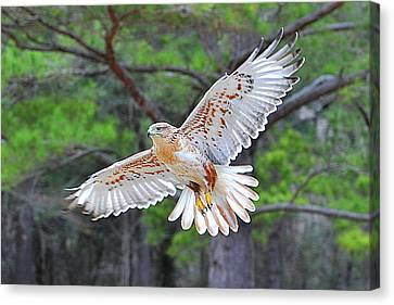 Ferriginious Hawk In Flight Canvas Print