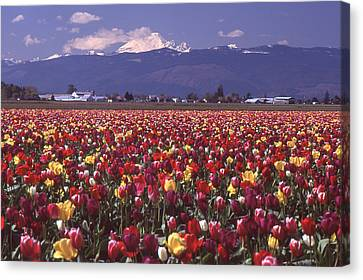 Field Of Tulips And Mount Baker Canvas Print
