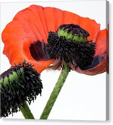 Flower Poppy In Studio Canvas Print by Bernard Jaubert