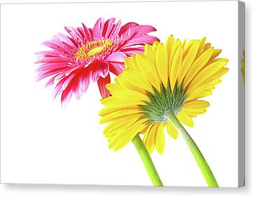 Gerbera Flowers Canvas Print by Carlos Caetano