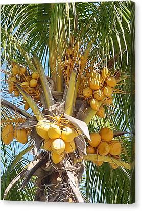 Golden Coconuts Key West Canvas Print