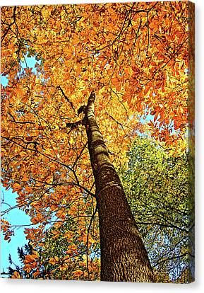 Golden Hickory Canvas Print