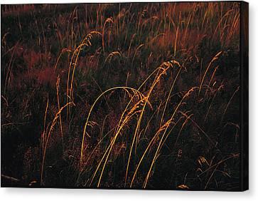 Grasses Glow Golden In Evenings Light Canvas Print by Raymond Gehman