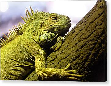 Green Iguana Of Nature Park Canvas Print
