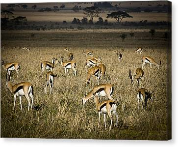 Herd Of Antelope Canvas Print