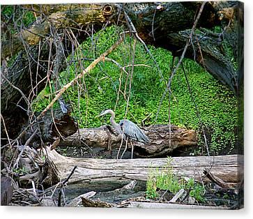 Heron Habitat Canvas Print by Sue Stefanowicz