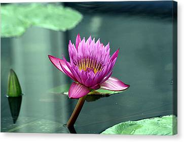 Hot Pink Water Lily Canvas Print by Brenda Thour