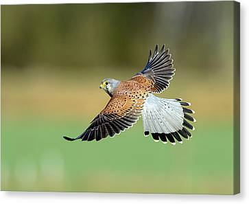 Flying Animal Canvas Print - Kestrel Bird by Mark Hughes