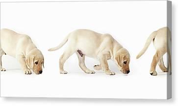 Labrador Retriever Puppy Walking, Montage Canvas Print by Uwe Krejci