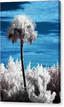 Lonesome Palm Canvas Print by Bob Pomeroy