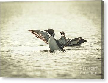 Loons On The Lake Canvas Print by Cheryl Baxter