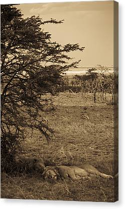 Male Lions Snoozing In Shade Canvas Print by Darcy Michaelchuk