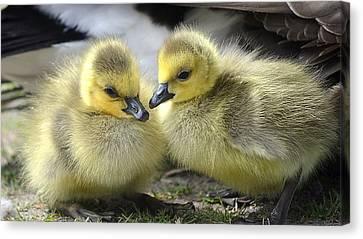 Mini Quackers Canvas Print by Fraida Gutovich