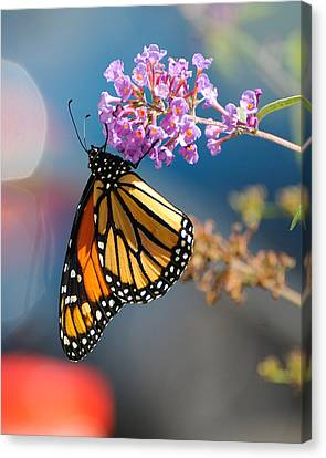 Monarch 2011 E Canvas Print