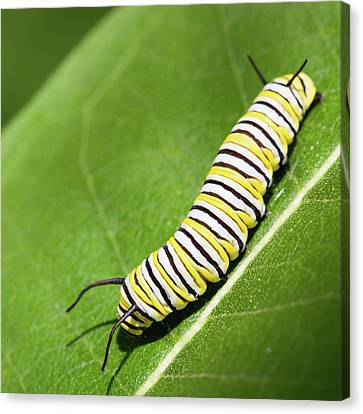 Monarch Butterfly Caterpillar Canvas Print by Paul Omernik