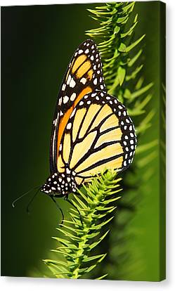 Monarch Butterfly Canvas Print by The Photography Factory