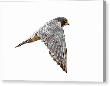 Flying Animals Canvas Print - Peregrine Falcon Bird by Bmse