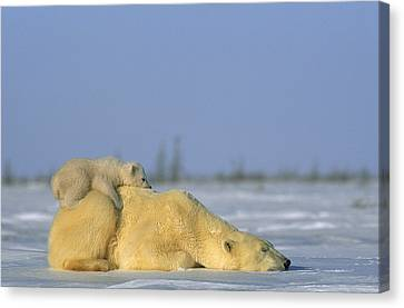 Polar Bear And Her Cub Resting Canvas Print by Norbert Rosing