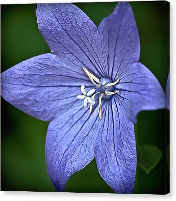 Purple Balloon Flower Canvas Print by  Onyonet  Photo Studios