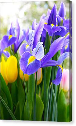 Purple Iris On A Spring Day Canvas Print by Daphne Sampson