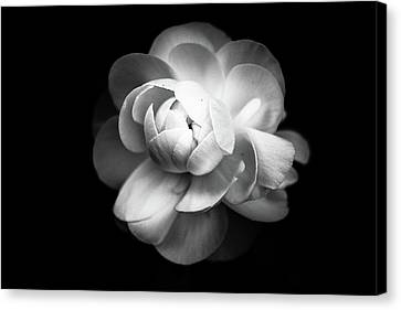 Ranunculus Flower Canvas Print
