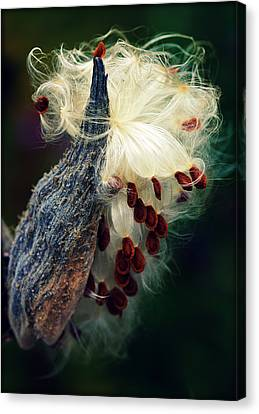 Release The Seed Milkweed Canvas Print