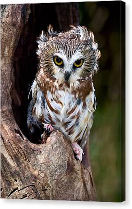 Saw-whet Owl Canvas Print by Wade Aiken