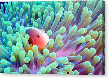 Skunk Clownfish And Sea Anemone Canvas Print