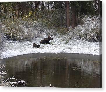 Snow Moose Canvas Print by David Wilkinson