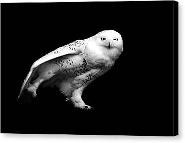 Snowy Owl Canvas Print by Malcolm MacGregor