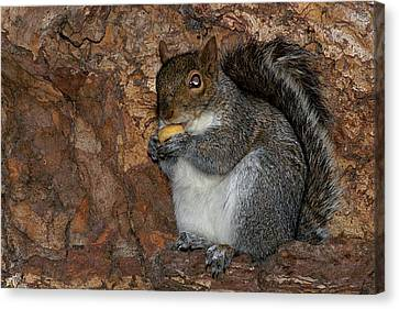 Canvas Print featuring the photograph Squirrell by Pedro Cardona