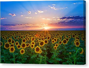 Usa Canvas Print - Sunflower by Hansrico Photography