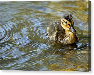 Ducklings Canvas Print - Swimming Duckling by © Esther Moliné