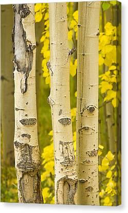 Three Autumn Aspens Canvas Print by James BO  Insogna