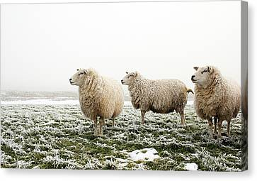 Three Sheep In Winter Canvas Print by MarcelTB