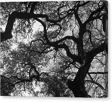 Tree Gazing Canvas Print by Lindsey Orlando