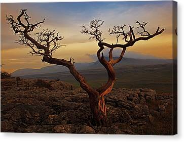 Tree On Top Of Hill Of  Yorkshire Dales Canvas Print by Ray Bradshaw