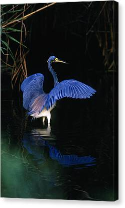 Tri-colored Heron - Fs000031 Canvas Print