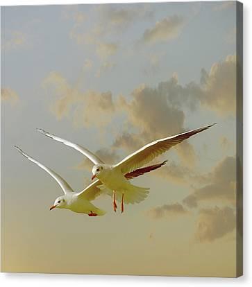 Two Mediterranean Gulls In Flight Canvas Print by Christiana Stawski