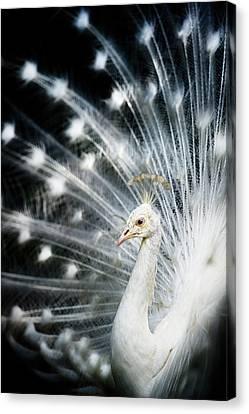 White Peacock Canvas Print by Copyright (c) Richard Susanto