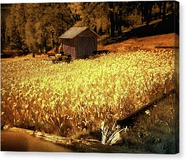 Yellow Daffodil Field Canvas Print by Michael Cleere
