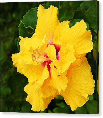Yellow Double Hibiscus Canvas Print by Kerri Ligatich