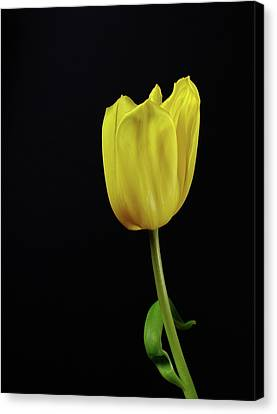 Canvas Print featuring the photograph Yellow Tulip by Dariusz Gudowicz